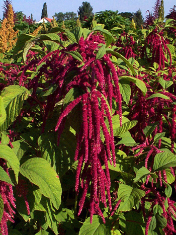 Amaranth, the Wow Superfood!